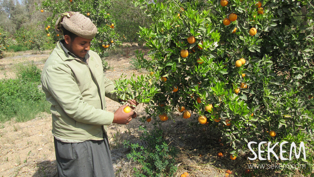 Now in February, the orange trees bear the heavy load of the fruits that SEKEMs farmers have been cultivating the past year. It is in early spring that they are ready to be harvested.