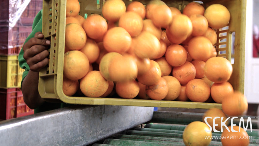 From SEKEMs own fields the oranges are brought directly into its factory just a few kilometres from the farm.