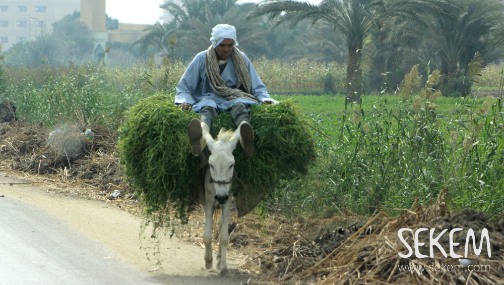 Typical scene in Fayoum: A donkey carrying the harvest from the fields.