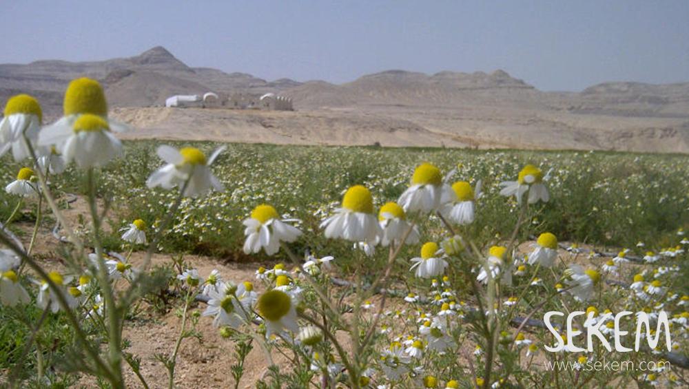 Kamillefeld in der Wüste