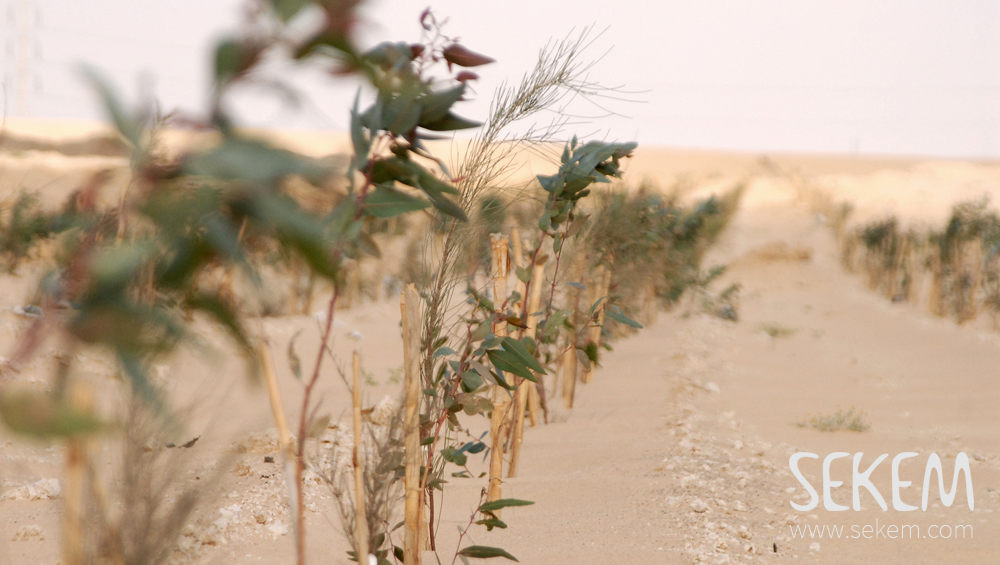 Trees in the desert, planted by SEKEM.