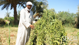Sesame Opens the Door to Sustainable Agriculture in the Desert