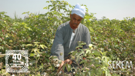 Organic Cotton as a Sustainable Alternative