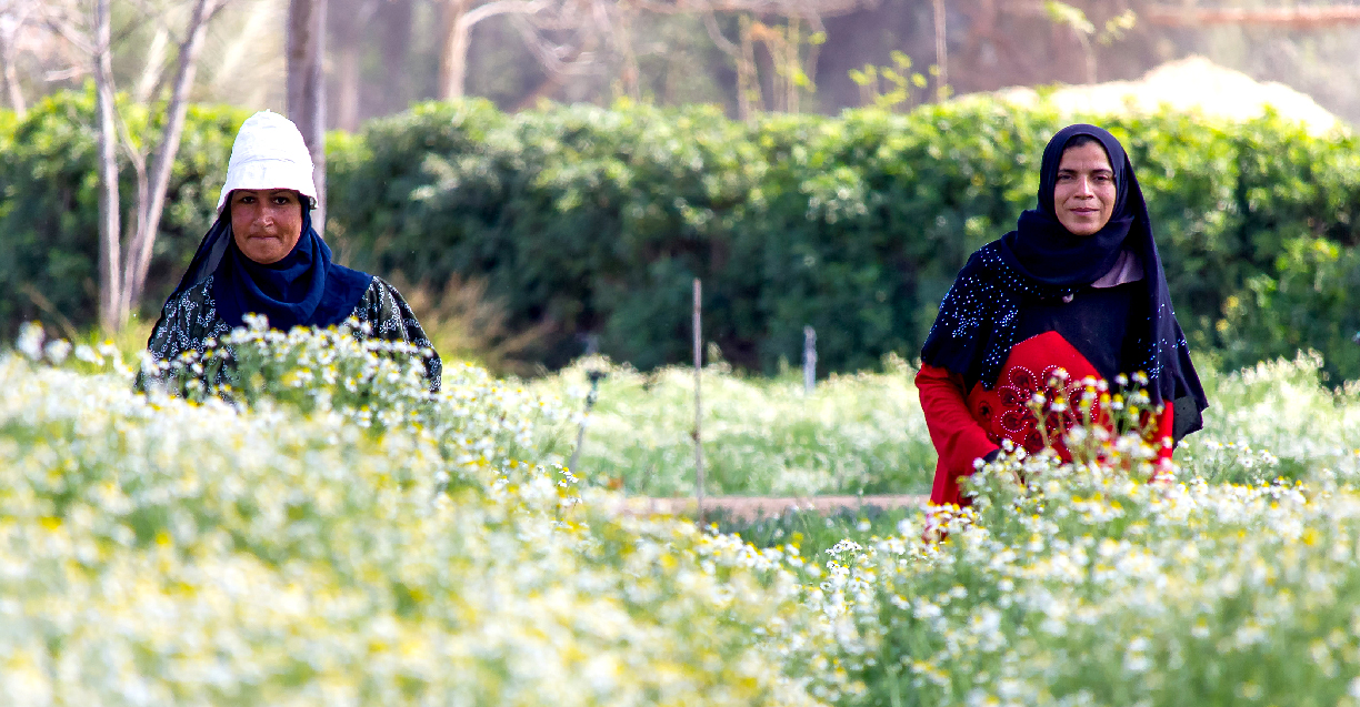 Farmers in Chamomile Field - SEKEM
