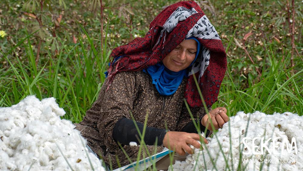 Es ist Zeit für die Baumwollernte in Ägypten