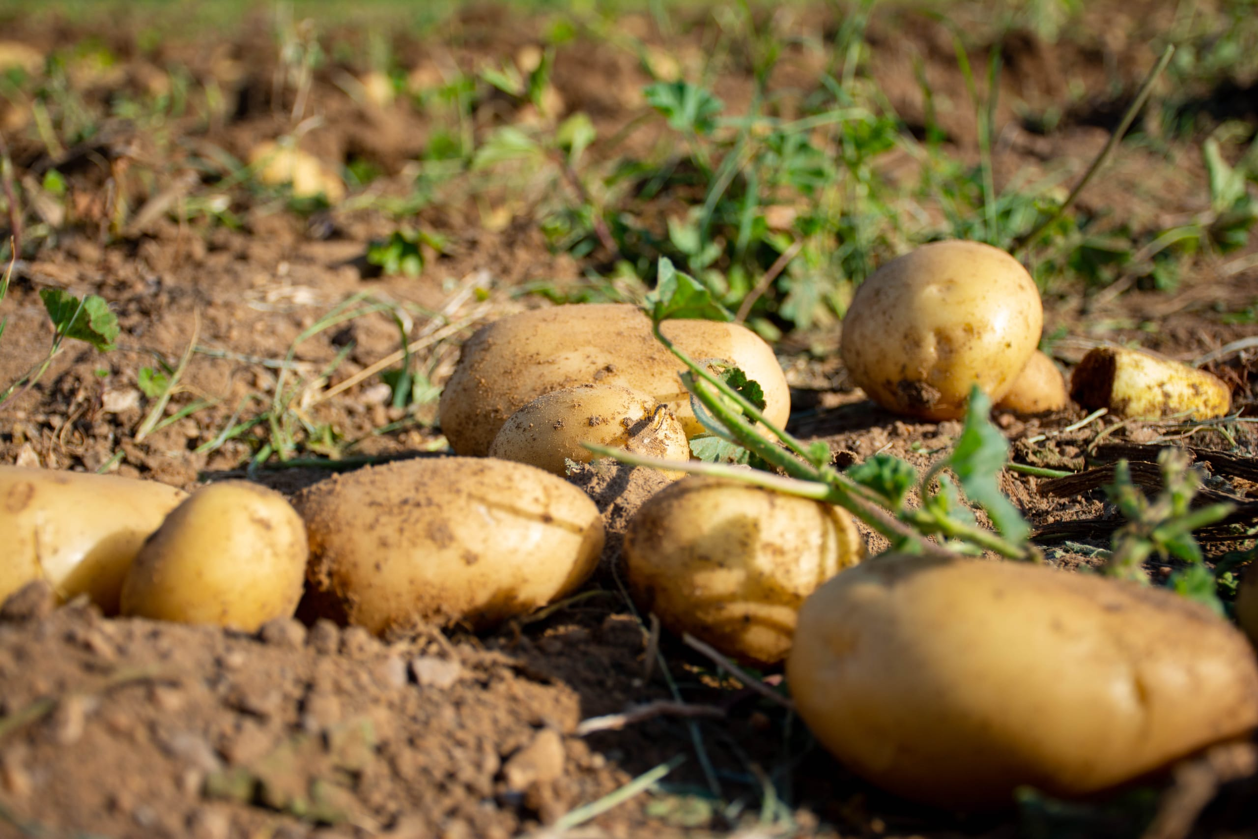 Organic Agriculture Under Saline Conditions